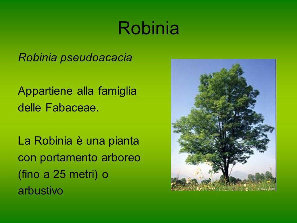 Robinia Robinia pseudoacacia Appartiene alla famiglia delle Fabaceae.