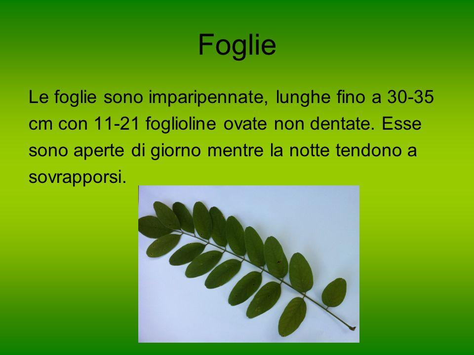 Foglie Le foglie sono imparipennate, lunghe fino a 30-35