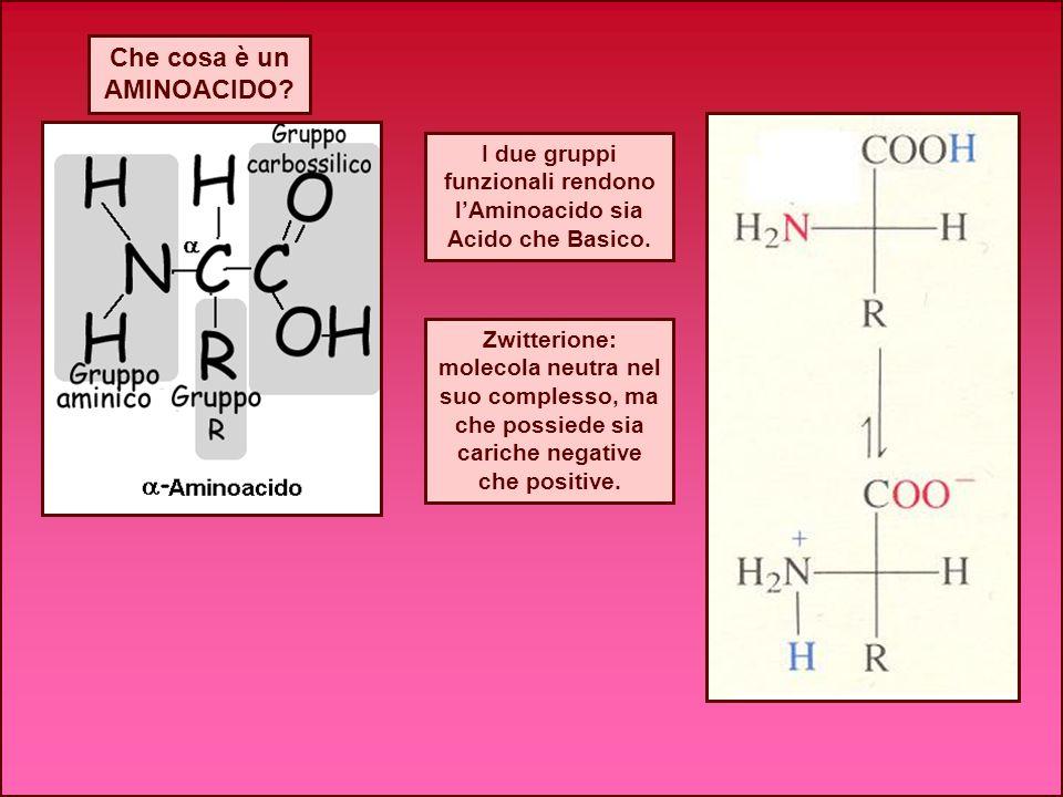 I due gruppi funzionali rendono l'Aminoacido sia Acido che Basico.