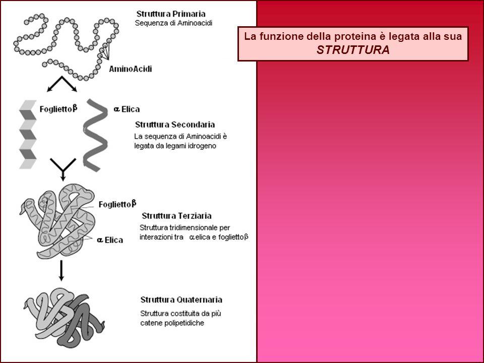 La funzione della proteina è legata alla sua STRUTTURA