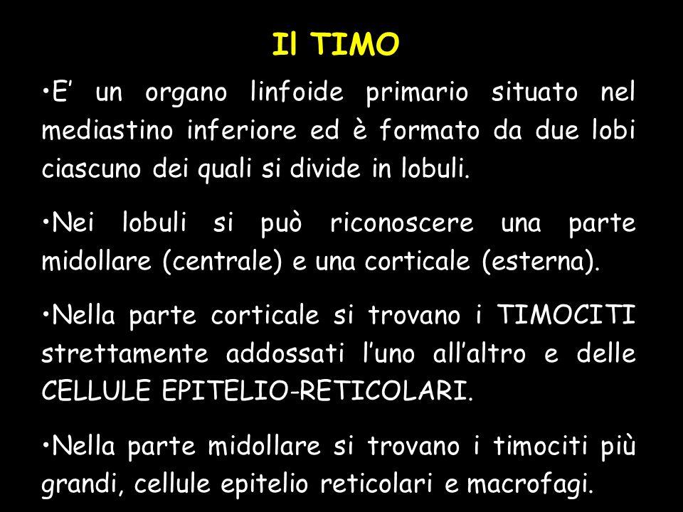 Il TIMO E' un organo linfoide primario situato nel mediastino inferiore ed è formato da due lobi ciascuno dei quali si divide in lobuli.