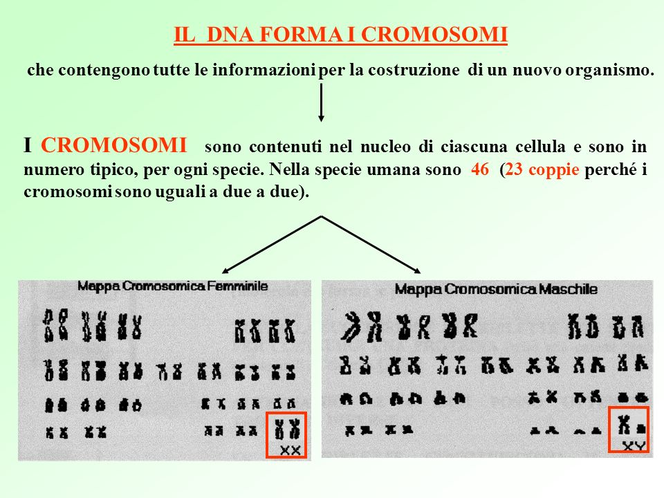 IL DNA FORMA I CROMOSOMI