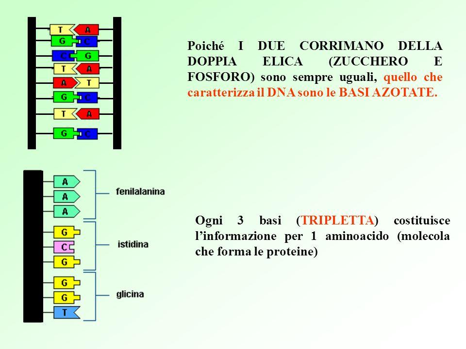 Poiché I DUE CORRIMANO DELLA DOPPIA ELICA (ZUCCHERO E FOSFORO) sono sempre uguali, quello che caratterizza il DNA sono le BASI AZOTATE.