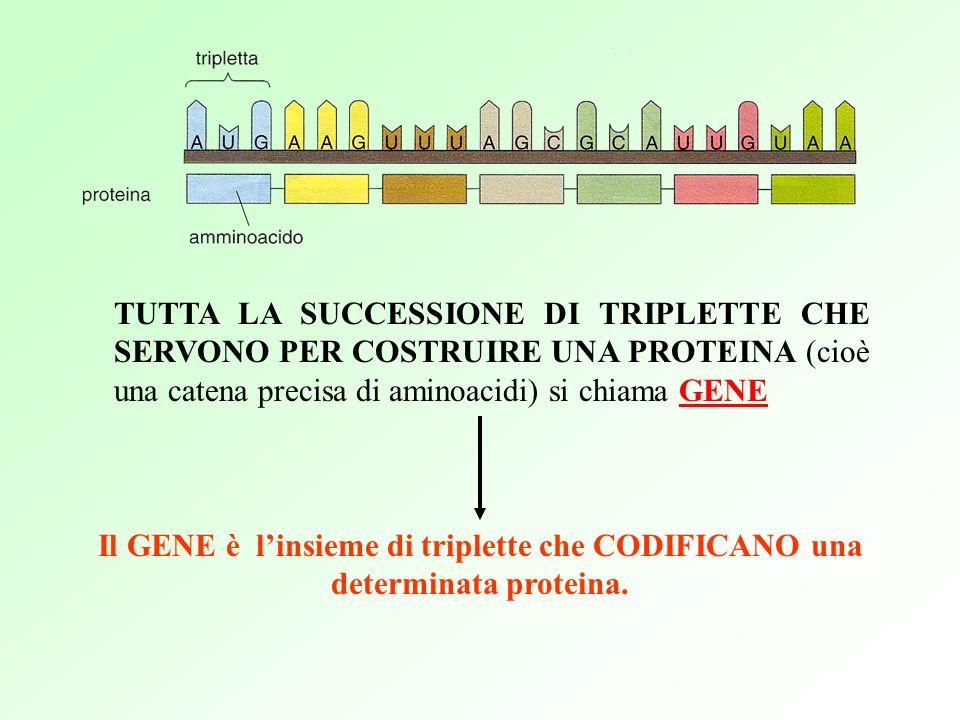 TUTTA LA SUCCESSIONE DI TRIPLETTE CHE SERVONO PER COSTRUIRE UNA PROTEINA (cioè una catena precisa di aminoacidi) si chiama GENE