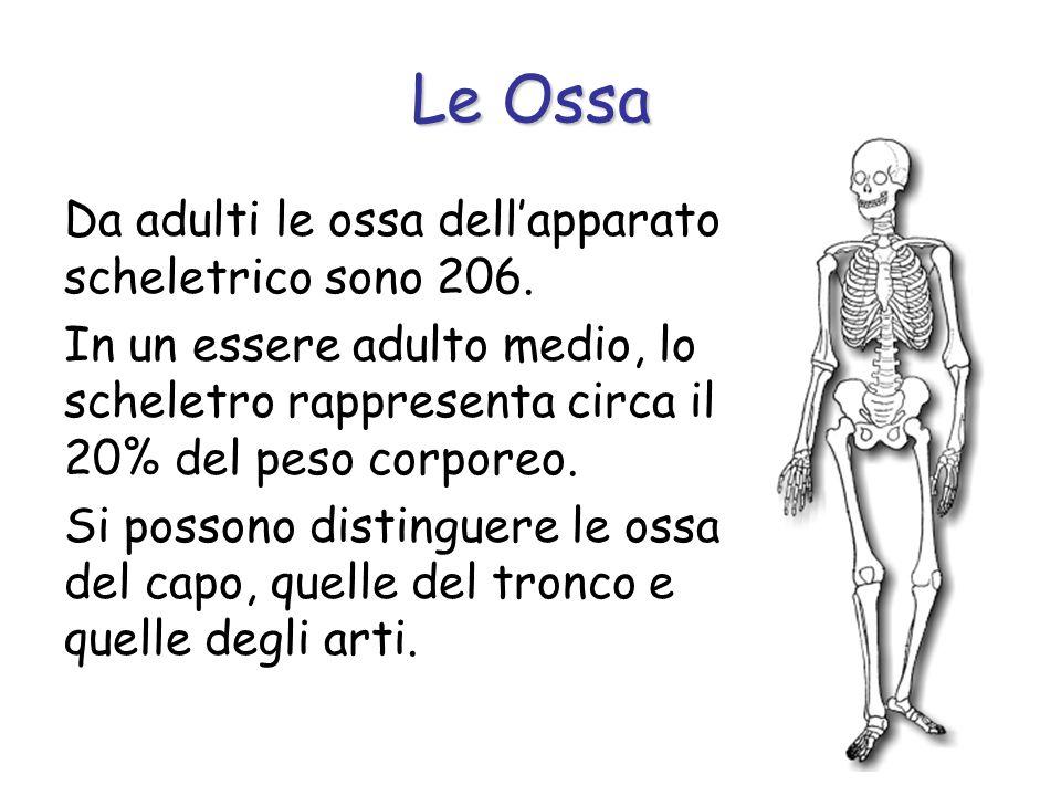 Le Ossa Da adulti le ossa dell'apparato scheletrico sono 206.