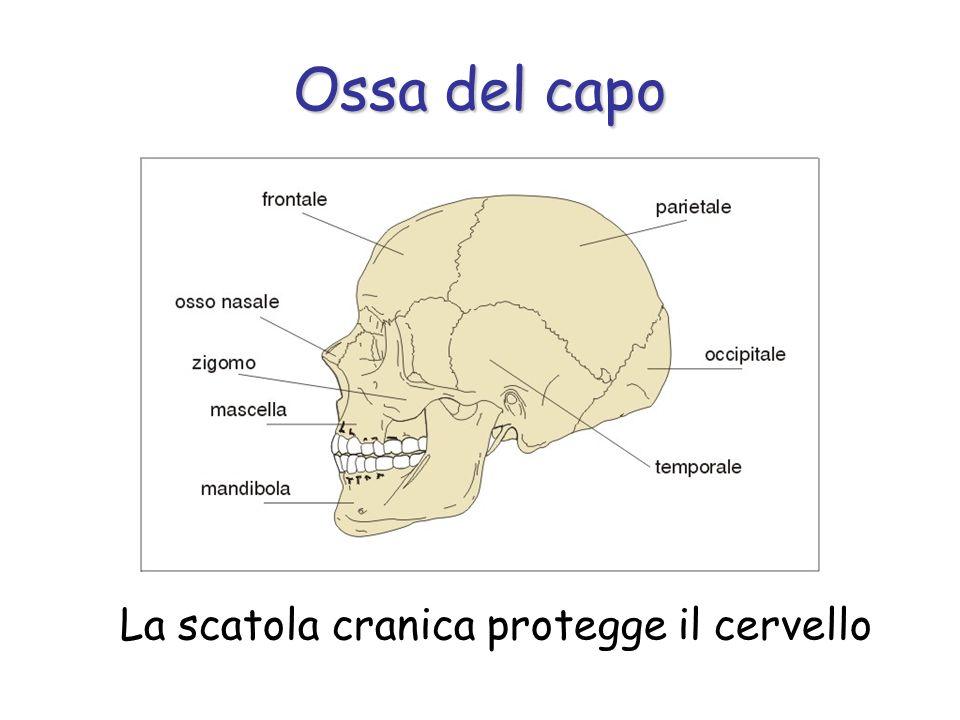 La scatola cranica protegge il cervello