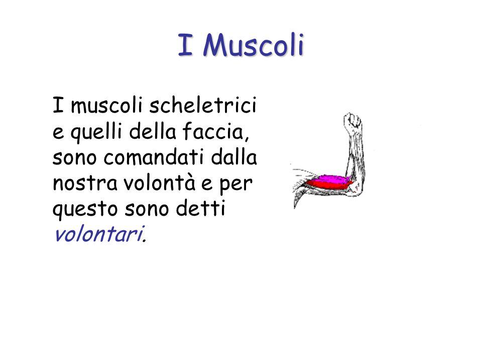 I Muscoli I muscoli scheletrici e quelli della faccia, sono comandati dalla nostra volontà e per questo sono detti volontari.