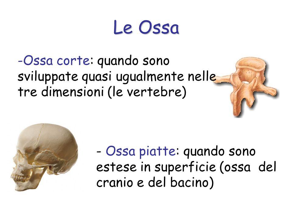 Le Ossa Ossa corte: quando sono sviluppate quasi ugualmente nelle tre dimensioni (le vertebre)