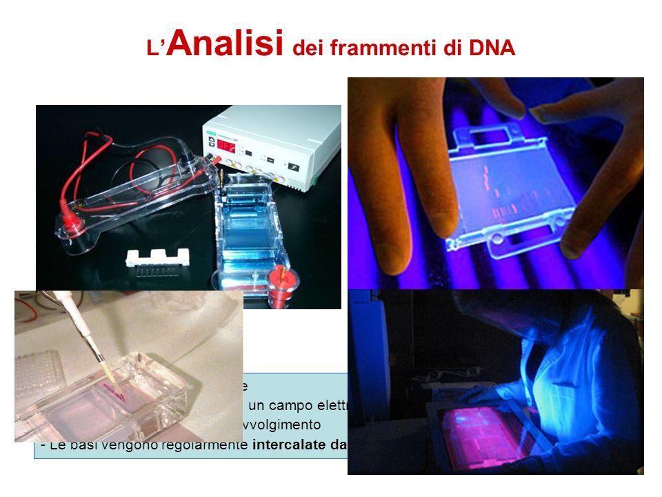 L'Analisi dei frammenti di DNA