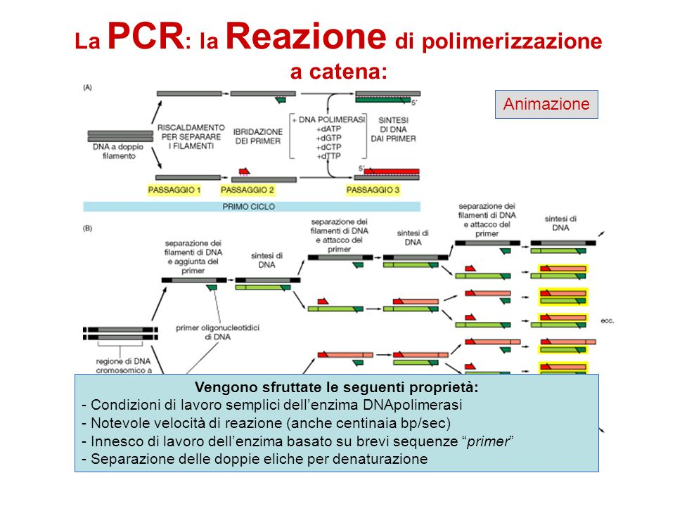 La PCR: la Reazione di polimerizzazione a catena: