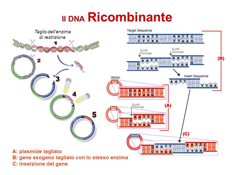 Il DNA Ricombinante A: plasmide tagliato