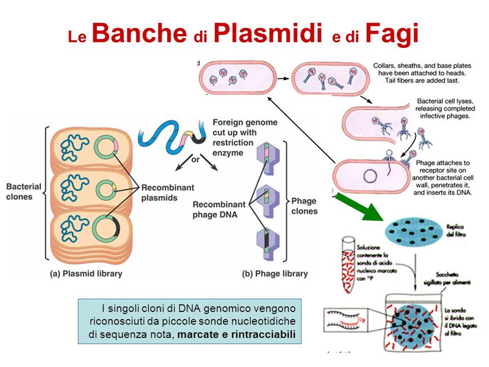 Le Banche di Plasmidi e di Fagi