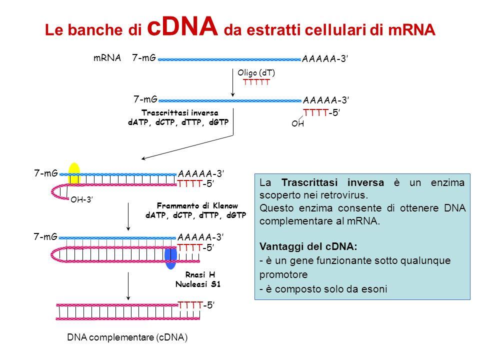 DNA complementare (cDNA)
