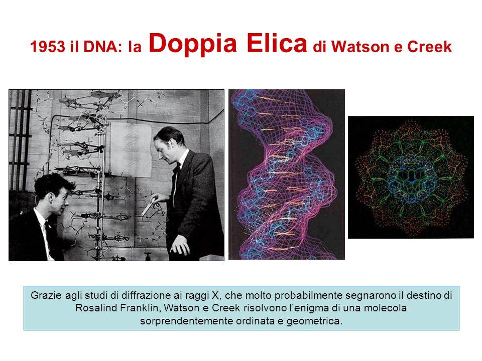 1953 il DNA: la Doppia Elica di Watson e Creek