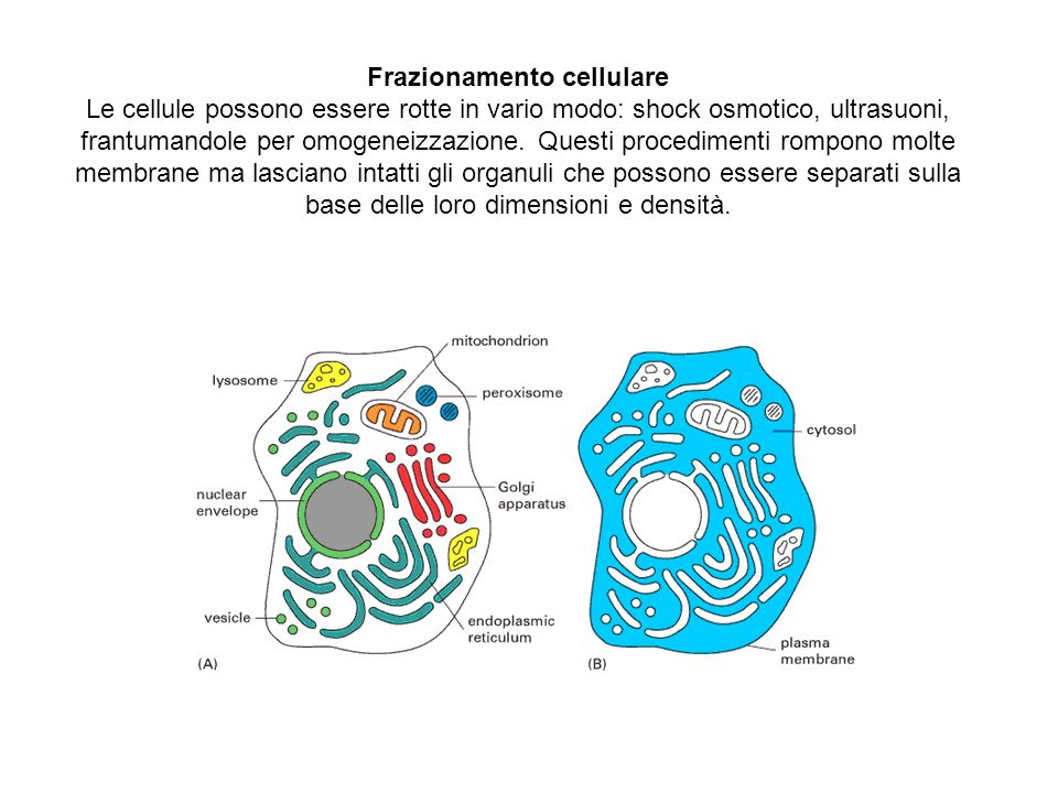 Frazionamento cellulare