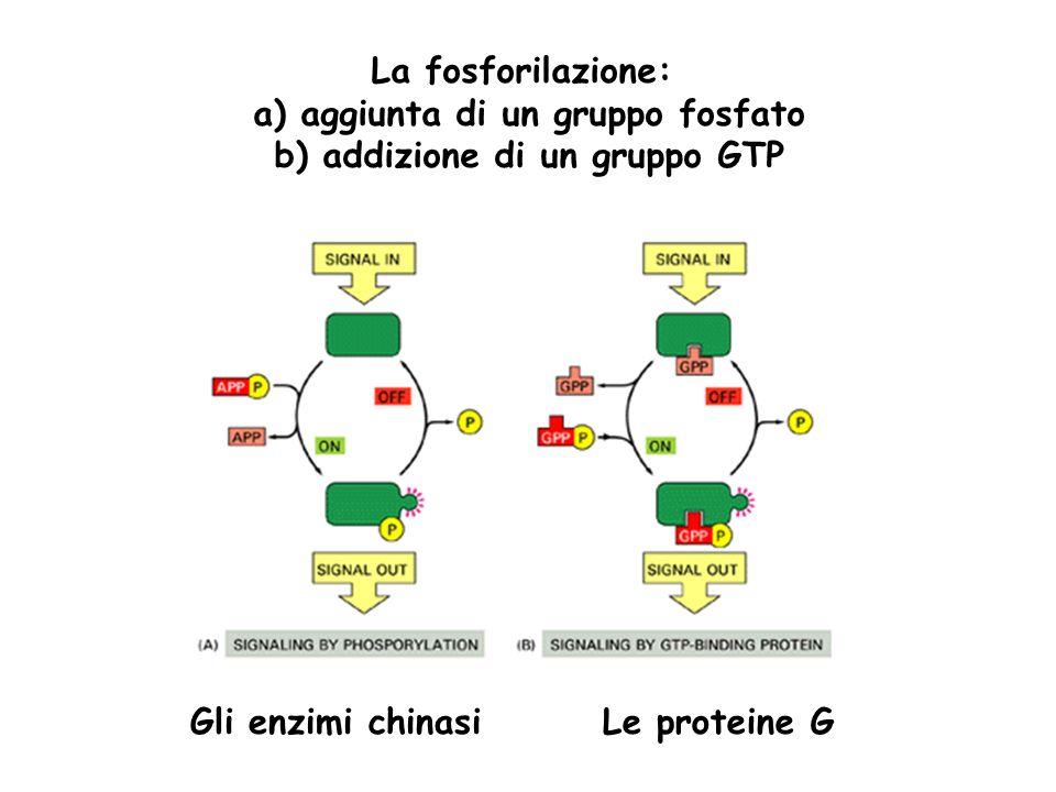 a) aggiunta di un gruppo fosfato b) addizione di un gruppo GTP