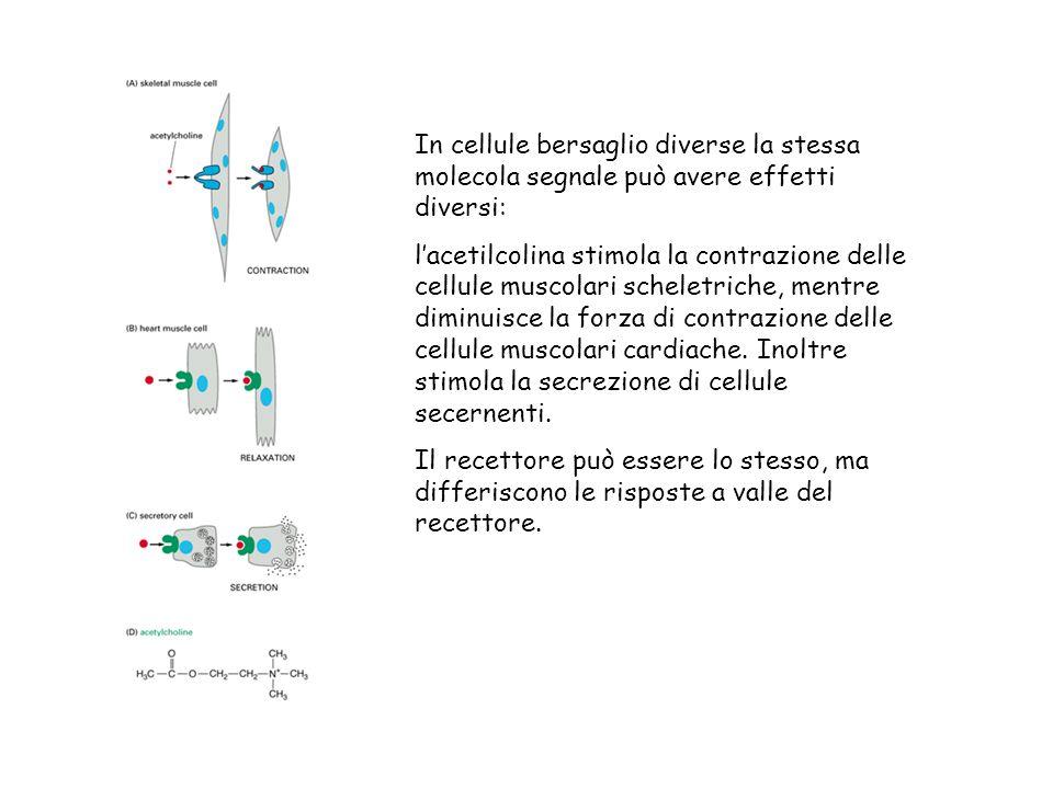 In cellule bersaglio diverse la stessa molecola segnale può avere effetti diversi:
