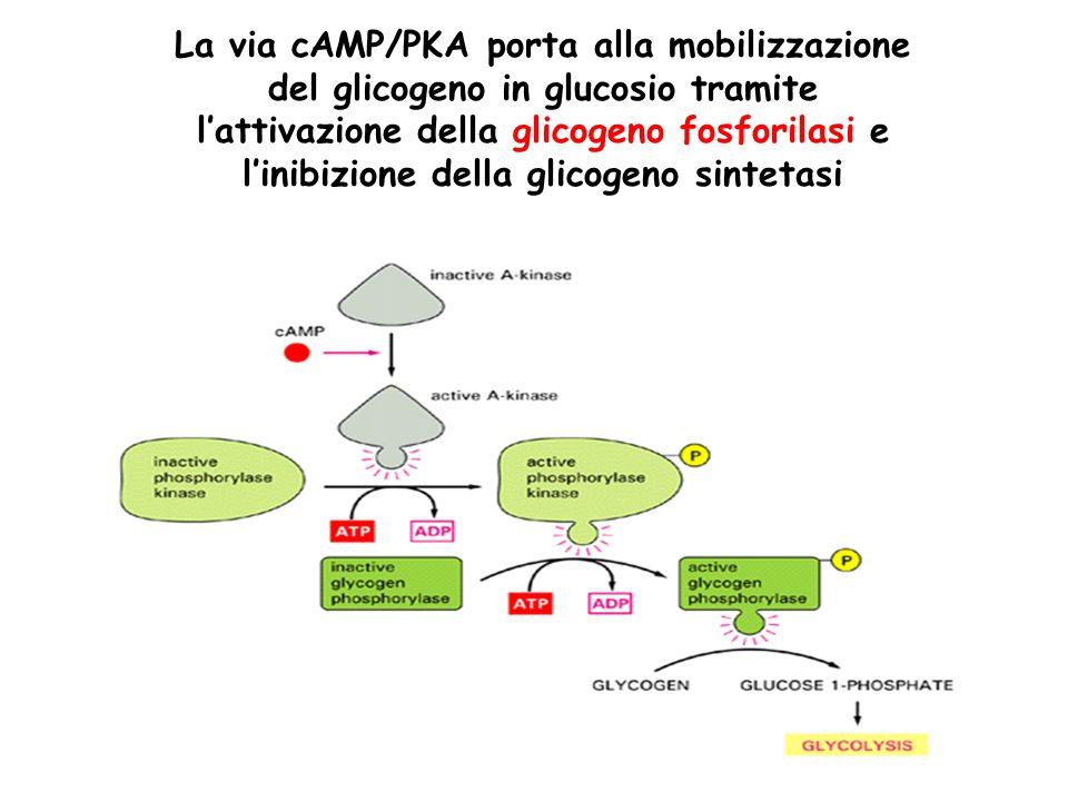 La via cAMP/PKA porta alla mobilizzazione del glicogeno in glucosio tramite l'attivazione della glicogeno fosforilasi e l'inibizione della glicogeno sintetasi
