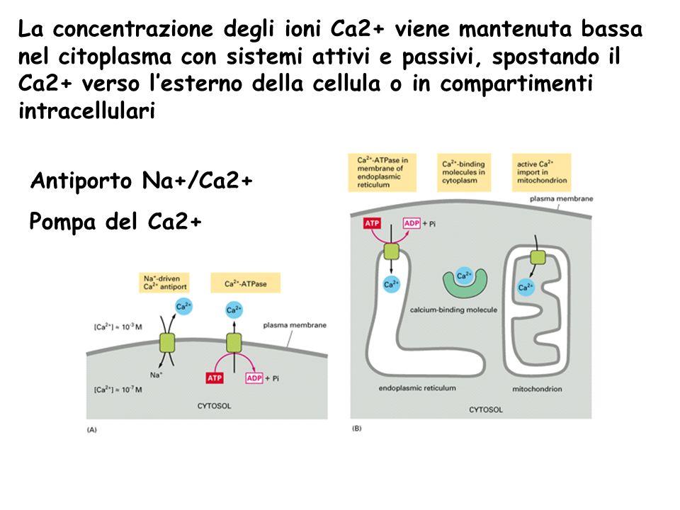 La concentrazione degli ioni Ca2+ viene mantenuta bassa nel citoplasma con sistemi attivi e passivi, spostando il Ca2+ verso l'esterno della cellula o in compartimenti intracellulari