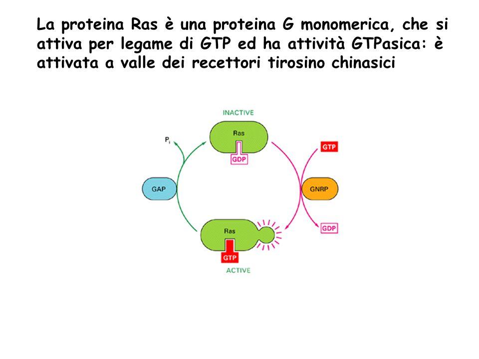 La proteina Ras è una proteina G monomerica, che si attiva per legame di GTP ed ha attività GTPasica: è attivata a valle dei recettori tirosino chinasici