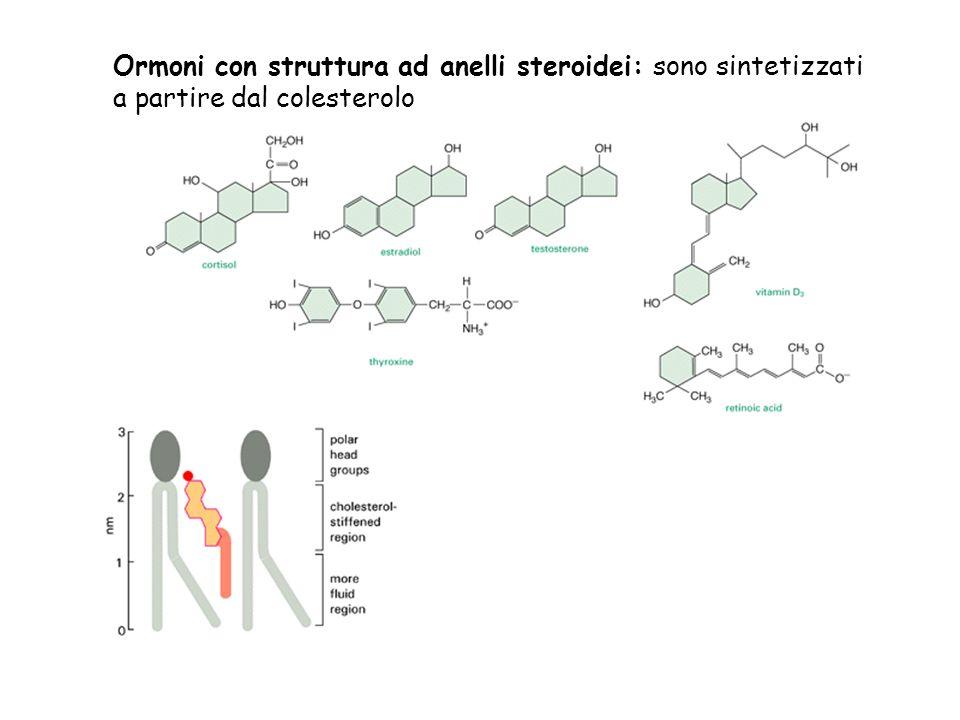 Ormoni con struttura ad anelli steroidei: sono sintetizzati
