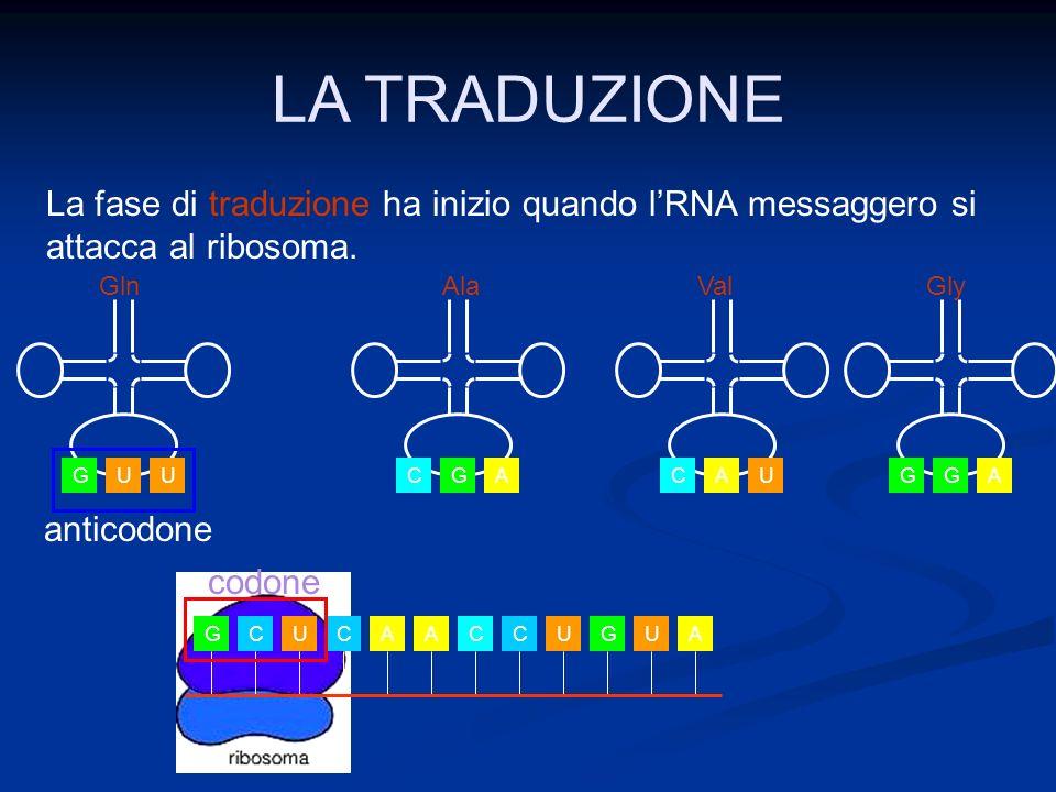 LA TRADUZIONE La fase di traduzione ha inizio quando l'RNA messaggero si attacca al ribosoma. U. G.