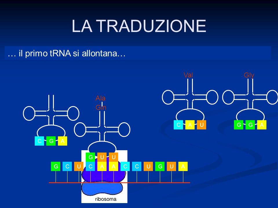 LA TRADUZIONE … il primo tRNA si allontana… Val Gly Ala Gln U C A A G