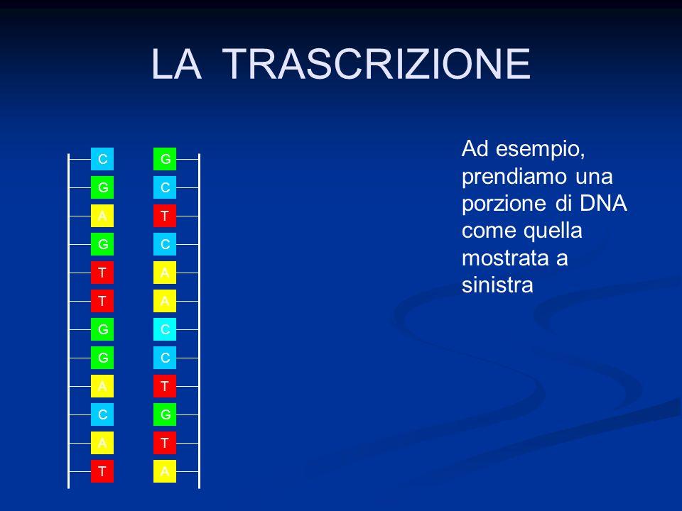 LA TRASCRIZIONE Ad esempio, prendiamo una porzione di DNA come quella mostrata a sinistra. A. G.