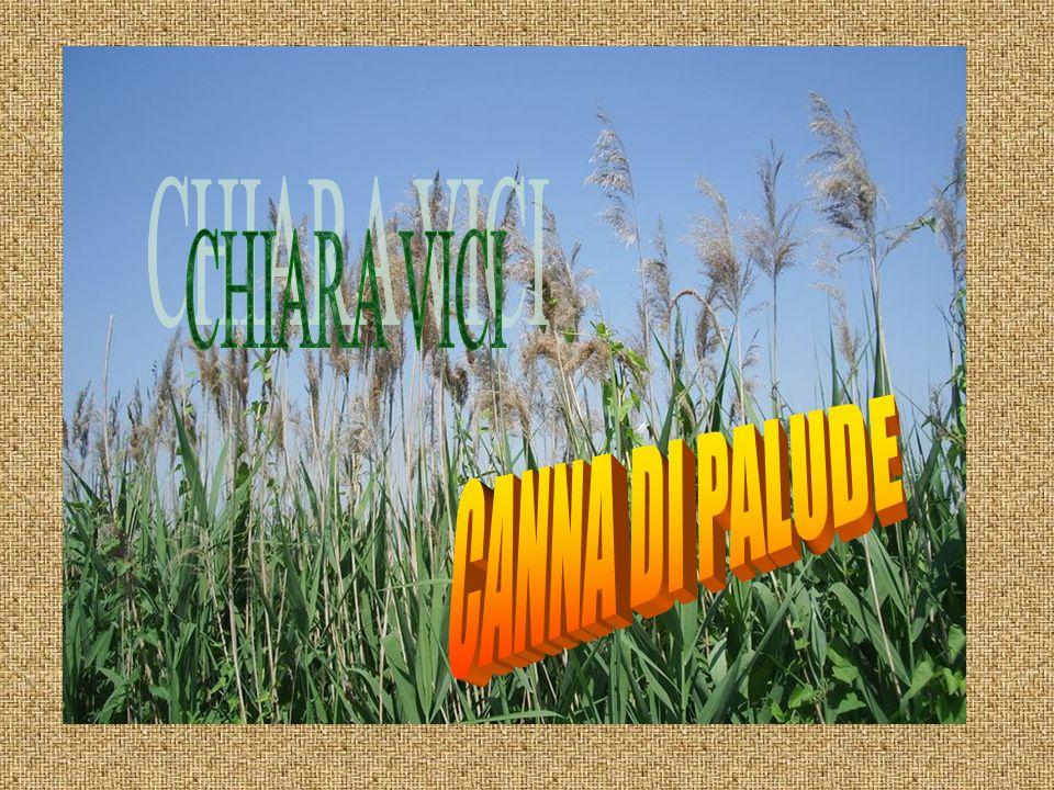 CHIARA VICI CANNA DI PALUDE