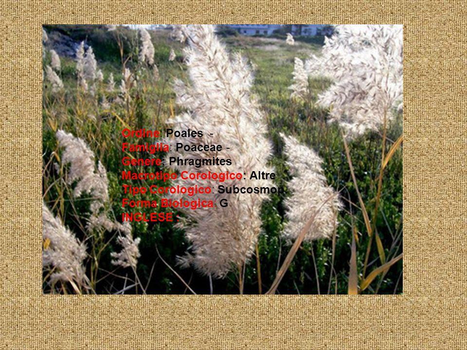 Ordine: Poales - Famiglia: Poaceae - Genere: Phragmites Macrotipo Corologico: Altre Tipo Corologico: Subcosmop.
