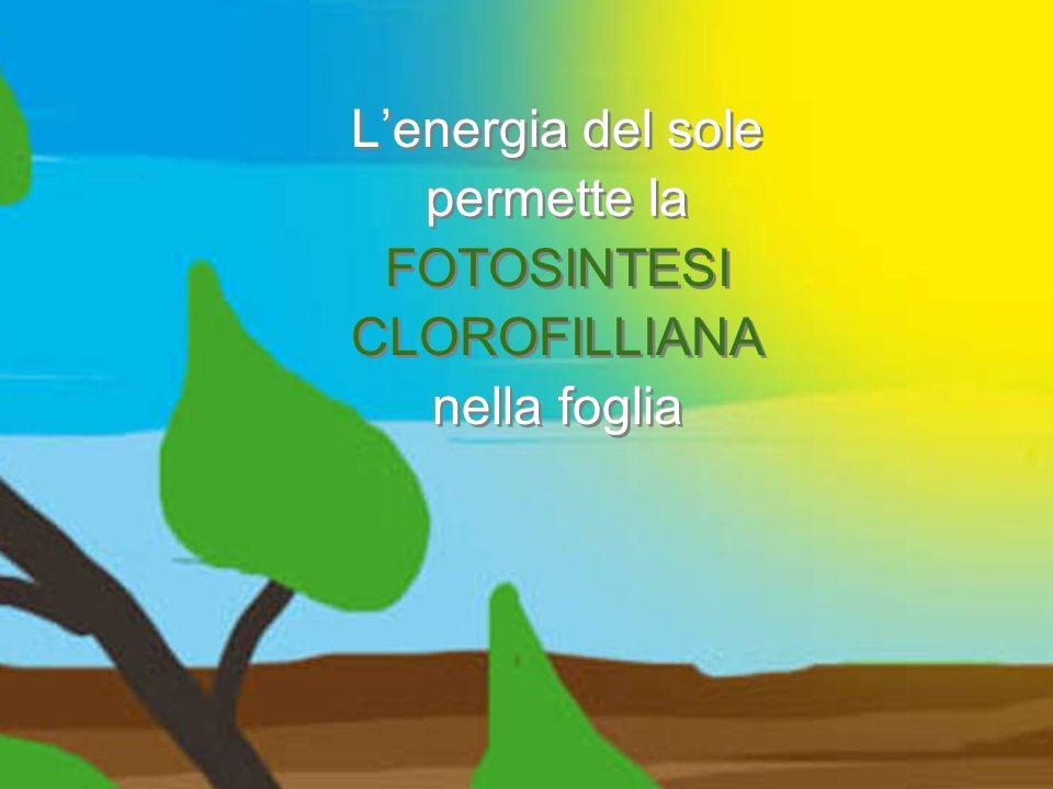 L'energia del sole permette la FOTOSINTESI CLOROFILLIANA nella foglia