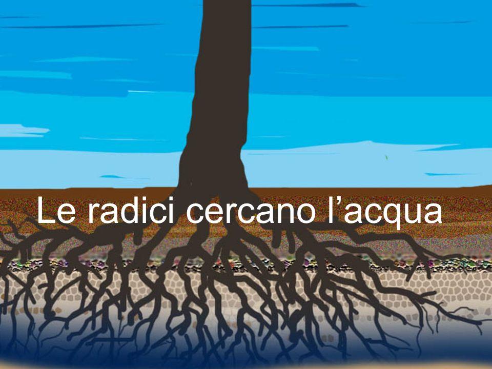 Le radici cercano l'acqua