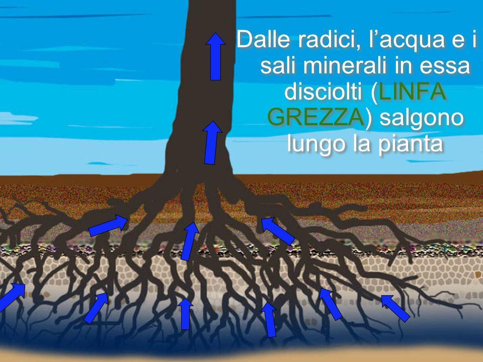 Dalle radici, l'acqua e i sali minerali in essa disciolti (LINFA GREZZA) salgono lungo la pianta