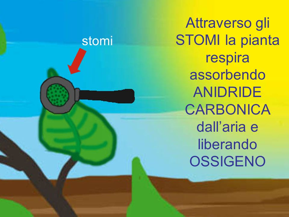 stomi Attraverso gli STOMI la pianta respira assorbendo ANIDRIDE CARBONICA dall'aria e liberando OSSIGENO.
