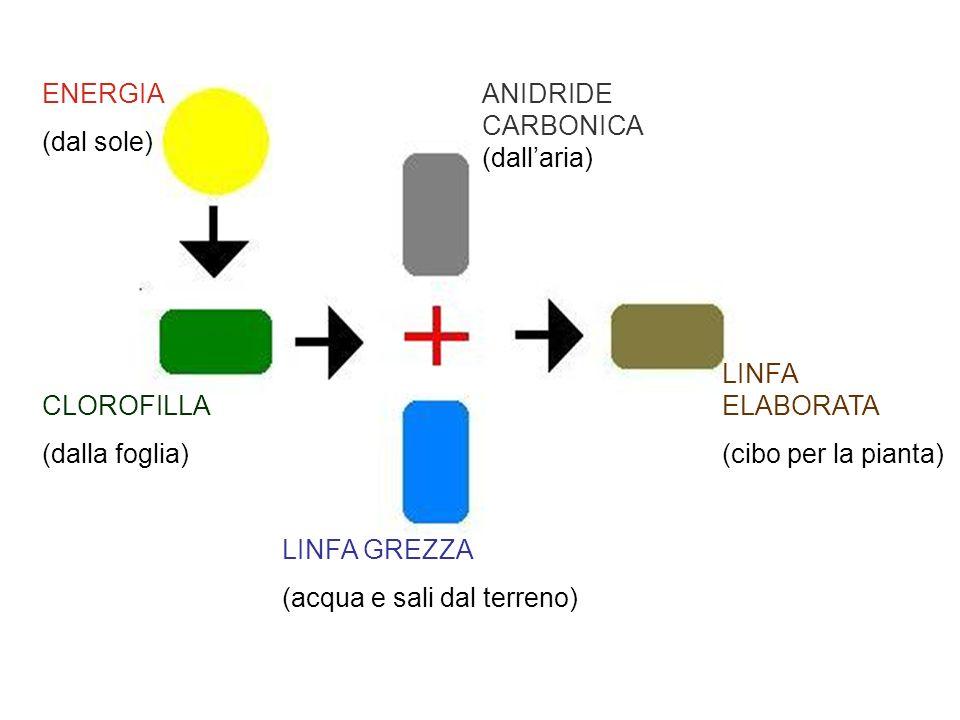 ENERGIA (dal sole) ANIDRIDE CARBONICA (dall'aria) LINFA ELABORATA. (cibo per la pianta) CLOROFILLA.