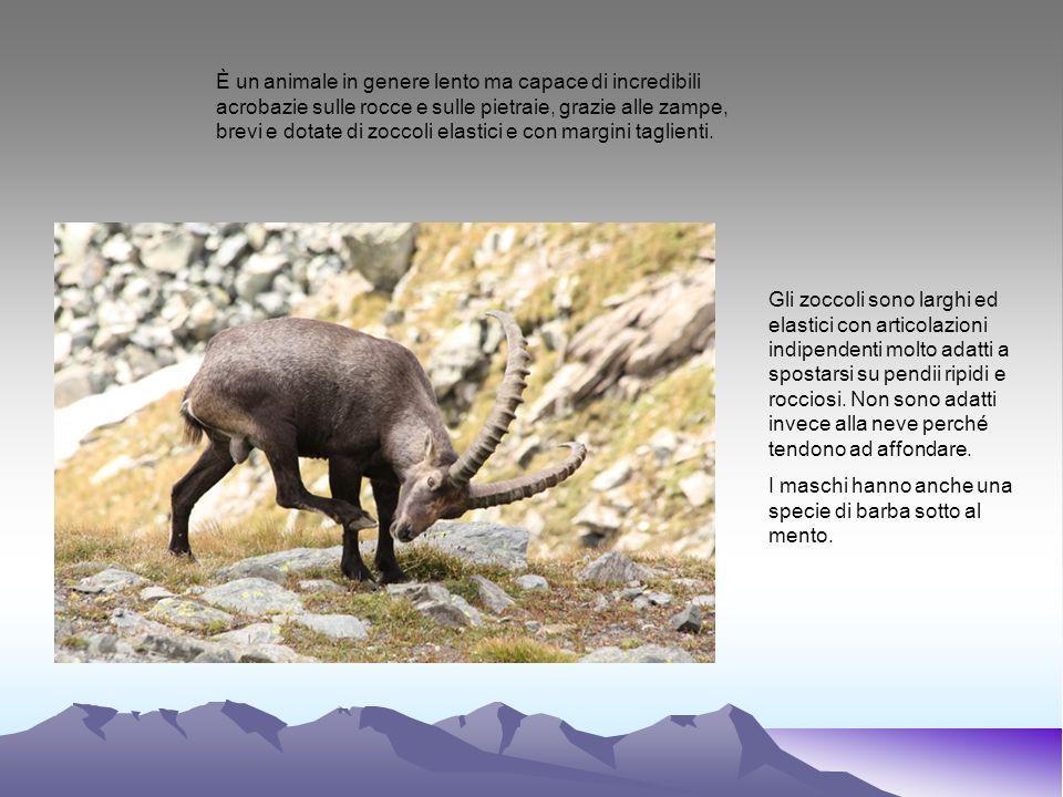 È un animale in genere lento ma capace di incredibili acrobazie sulle rocce e sulle pietraie, grazie alle zampe, brevi e dotate di zoccoli elastici e con margini taglienti.