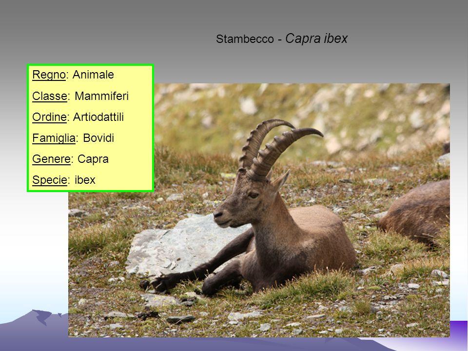 Stambecco - Capra ibex Regno: Animale. Classe: Mammiferi. Ordine: Artiodattili. Famiglia: Bovidi.