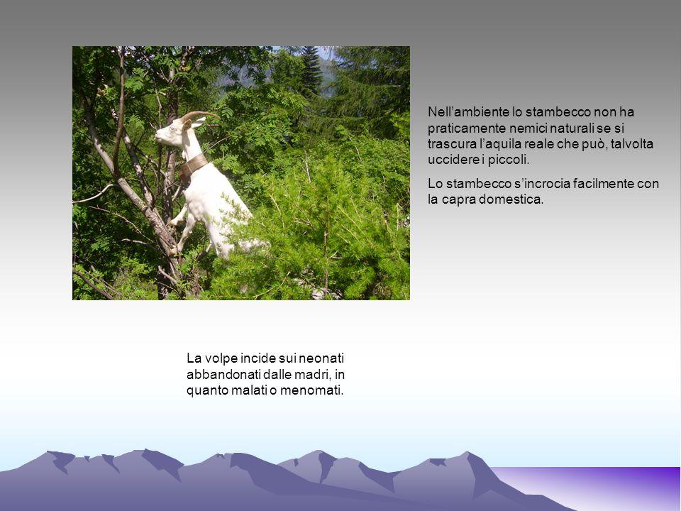 Nell'ambiente lo stambecco non ha praticamente nemici naturali se si trascura l'aquila reale che può, talvolta uccidere i piccoli.