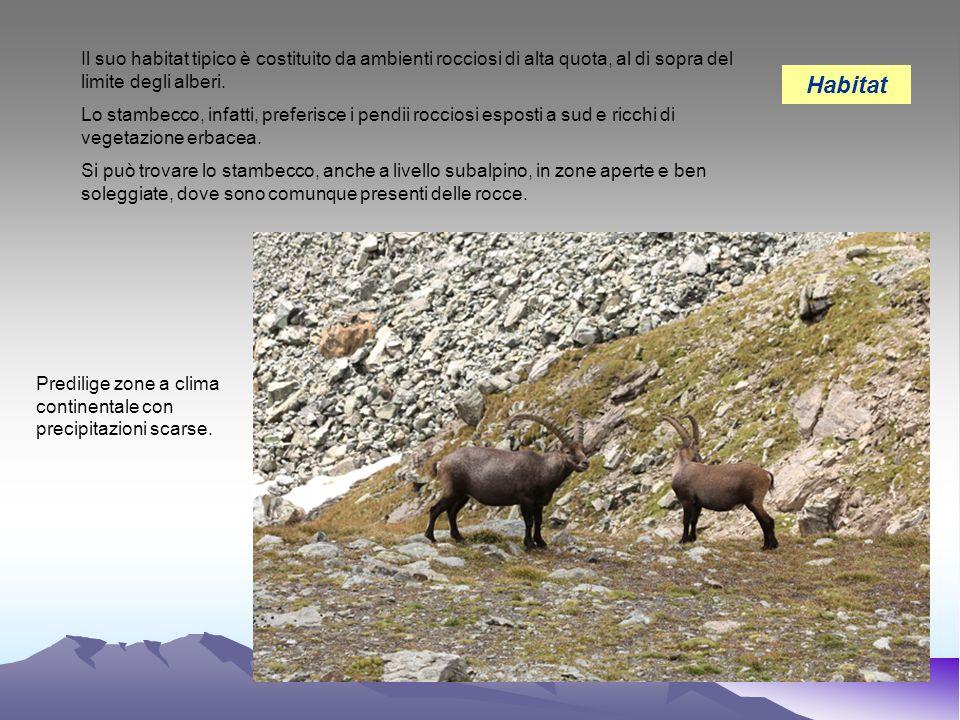 Il suo habitat tipico è costituito da ambienti rocciosi di alta quota, al di sopra del limite degli alberi.
