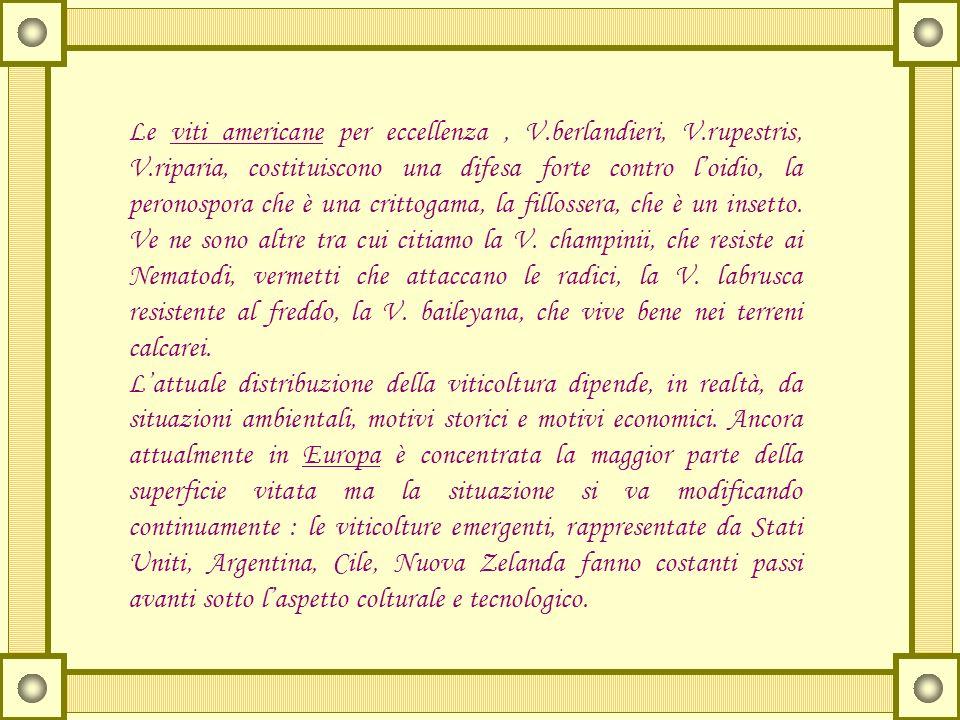 Le viti americane per eccellenza , V. berlandieri, V. rupestris, V