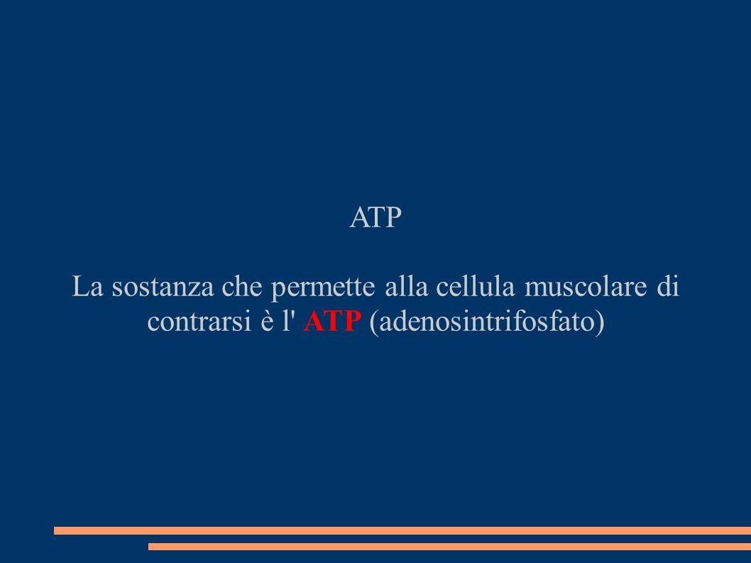 ATP La sostanza che permette alla cellula muscolare di contrarsi è l ATP (adenosintrifosfato)