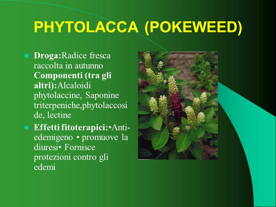 PHYTOLACCA (POKEWEED)