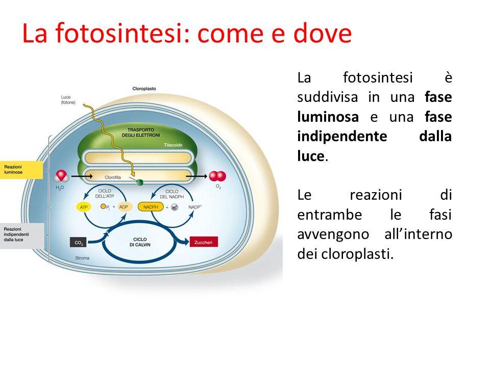 La fotosintesi: come e dove
