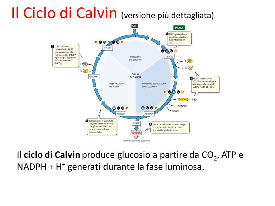 Il Ciclo di Calvin (versione più dettagliata)
