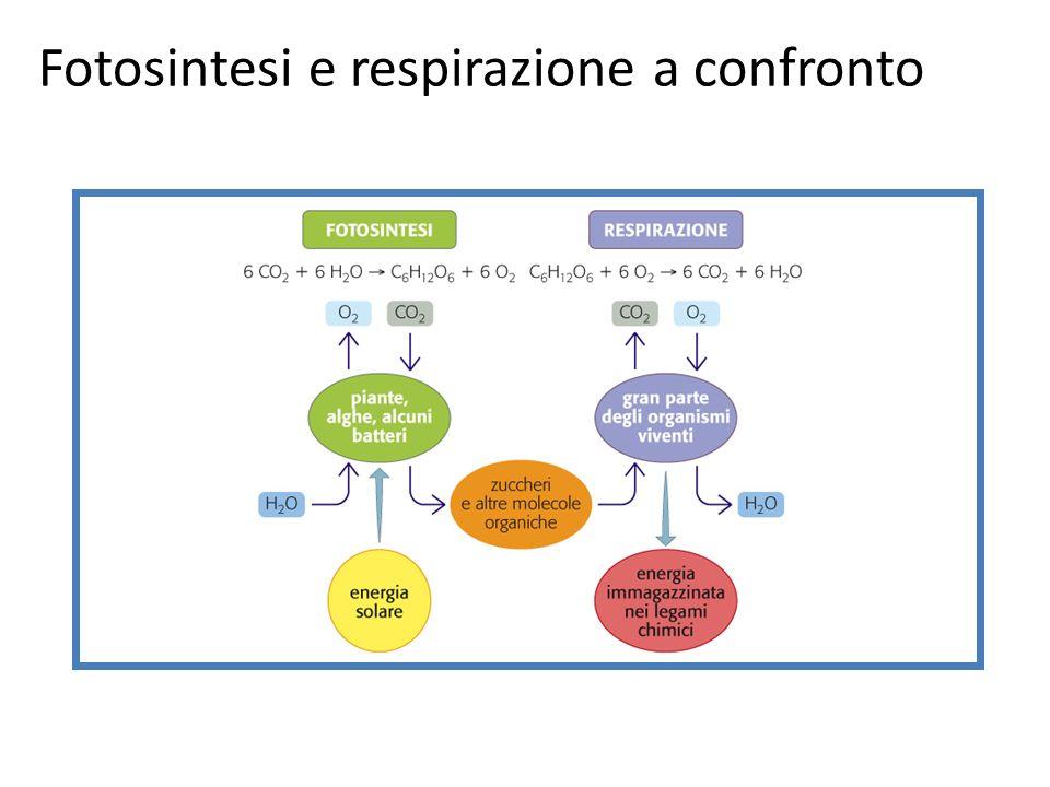 Fotosintesi e respirazione a confronto