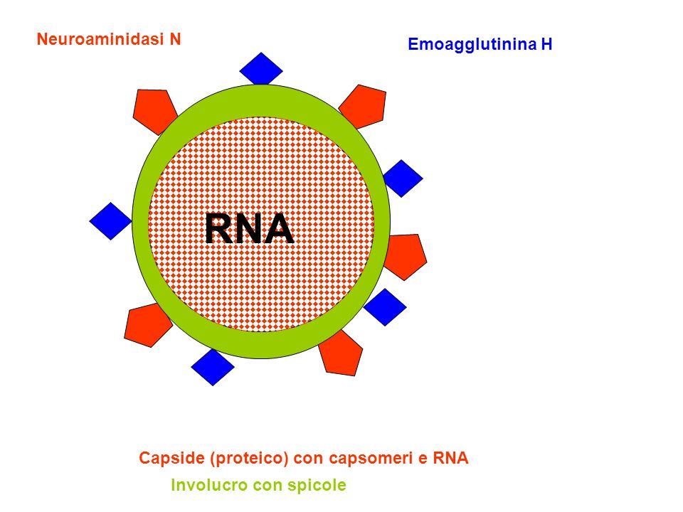 RNA Neuroaminidasi N Emoagglutinina H