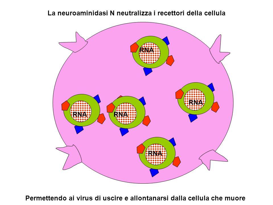 La neuroaminidasi N neutralizza i recettori della cellula