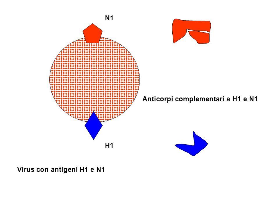 N1 Anticorpi complementari a H1 e N1 H1 Virus con antigeni H1 e N1