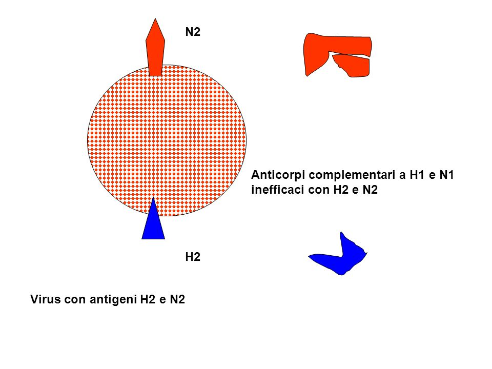 N2 Anticorpi complementari a H1 e N1 inefficaci con H2 e N2 H2 Virus con antigeni H2 e N2