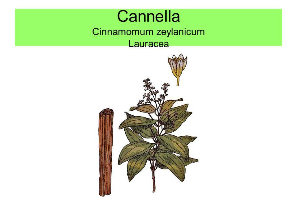 Cannella Cinnamomum zeylanicum Lauracea